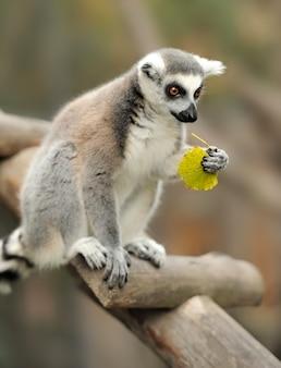 Lemurian na drzewie