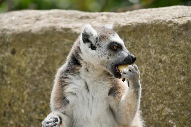 Lemury jedzą posiłki w słońcu