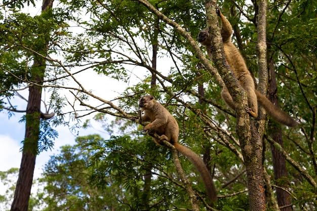 Lemury w lesie deszczowym na drzewach, skacząc z drzewa na drzewo