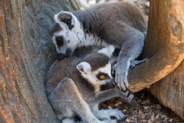 Lemury z madagaskaru, matka z dzieckiem z bliska.