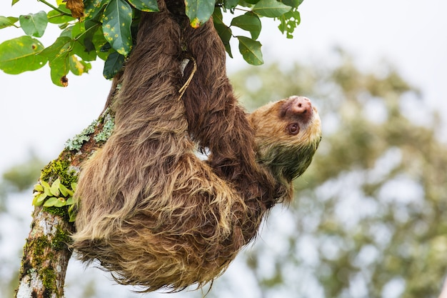Leniwiec na drzewie w kostaryce w ameryce środkowej