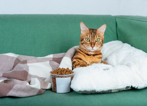Leniwy kot bengalski leży na kanapie z pilotem do telewizora i suchą karmą