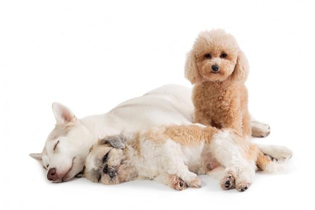 Leniwy siberian husky i shih tzu śpiące razem na podłodze