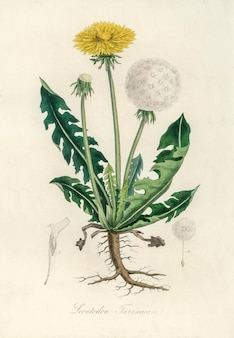 Leontodon taraxacuma ilustracja z medical botany (1836)