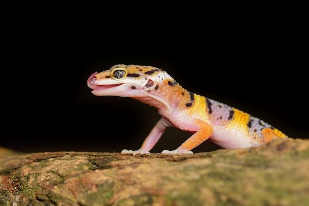 Leopard gecko na gałęzi zbliżenie