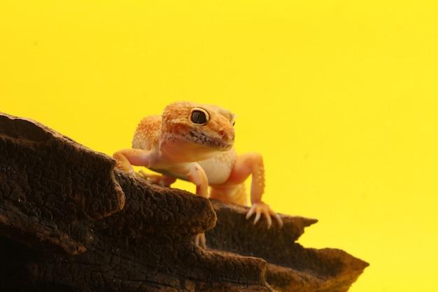 Leopard gecko na żółtym tleleopard gecko jaszczurka z bliska makro
