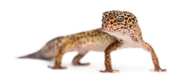 Leopard gecko stojący, patrząc w kamerę, eublepharis macularius, na białym tle