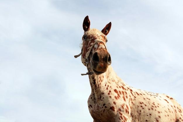 Leopard wzór płaszcza koń stojący śmieszna twarz konia przed błękitnym niebem koncepcja słodkich zwierząt