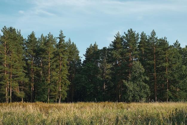 Leśna polana na tle sosnowego lasu, letni zachód słońca, tło błękitne niebo z chmurami. naturalny krajobraz