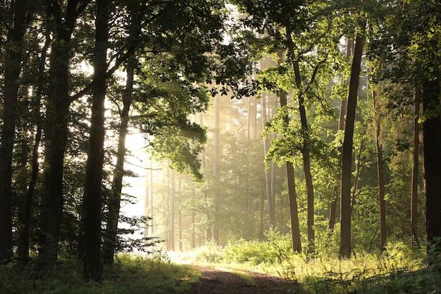 Leśna ścieżka o wschodzie słońca dęby oświetlone promieniami słońca