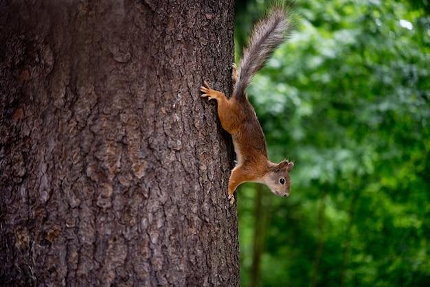Leśna wiewiórka na drzewie w naturalnych warunkach