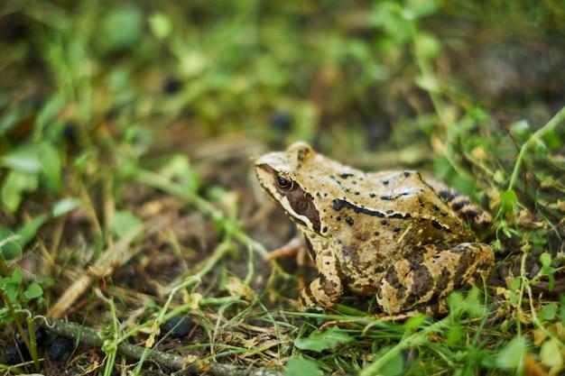 Leśna żaba zakrada się na mokrej trawie. drzewna żaba w trawy zbliżeniu. żaba trawna.