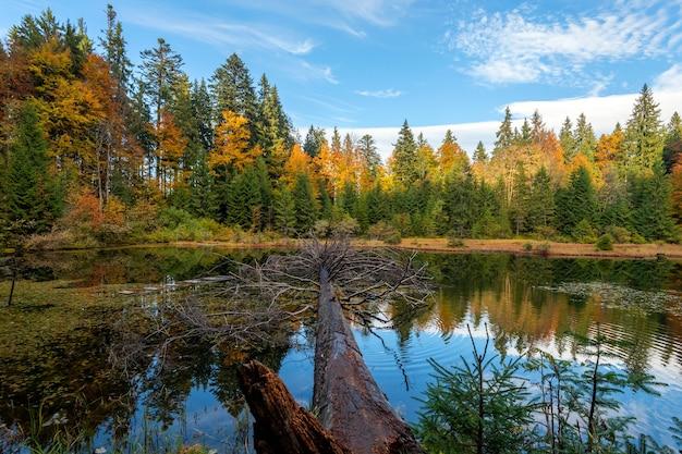 """Leśne jezioro w jesiennych liściach ze starym dużym drzewem, które do niego wpadło. """"staw i las w sezonie jesiennym"""""""