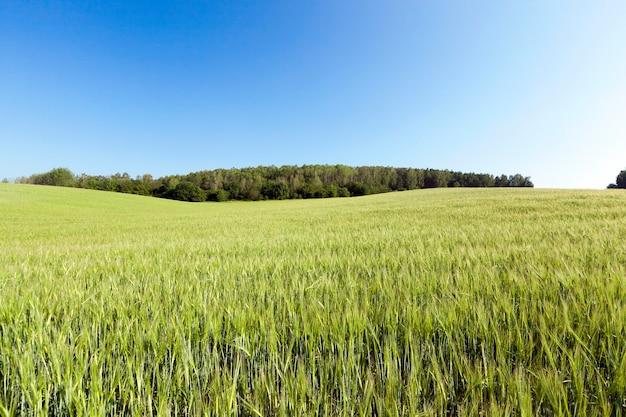 Letni krajobraz dużych zbiorów pszenicy przed dojrzewaniem, błękitne niebo nad ziemią