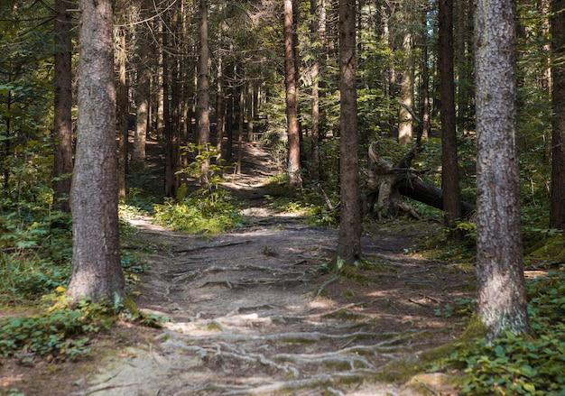 Letni krajobraz leśny w słoneczną pogodę - drzewa i wąska ścieżka oświetlona miękkim światłem słonecznym.