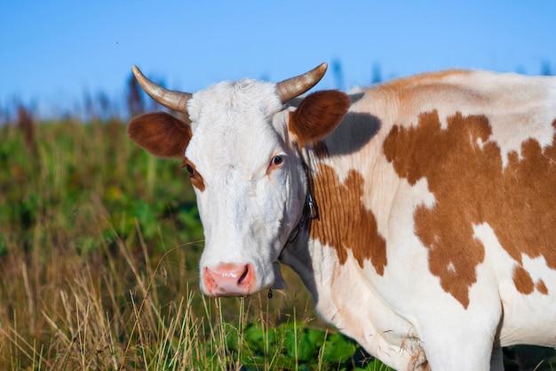 Letni krajobraz w karpatach z wypasem krów na świeżych zielonych pastwiskach górskich
