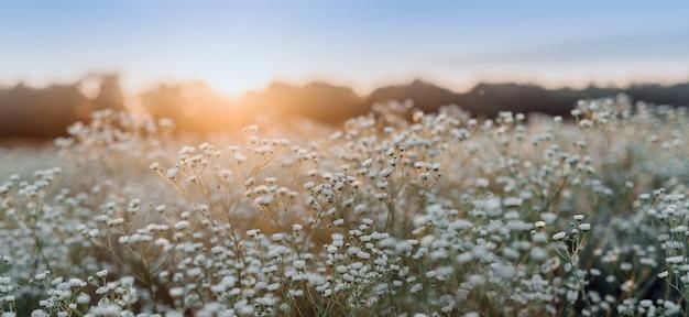 Letni krajobraz z kwitnącymi kwiatami stokrotki na łące, biały kwiat rumianku na polu, letni widok kwitnących dzikich kwiatów na łące