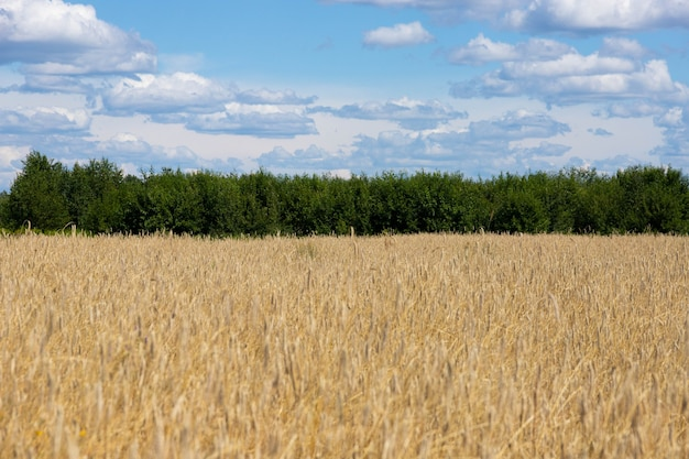 Letni krajobraz z polem pszenicy i chmurami