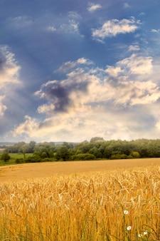 Letni krajobraz z polem pszenicy i malowniczym niebem z kapryśnymi chmurami o zachodzie słońca