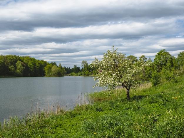 Letni krajobraz z samotnym kwitnącym drzewem nad jeziorem.