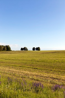 Letni krajobraz z skoszoną trawą na polu uprawnym, błękitne niebo przy słonecznej pogodzie