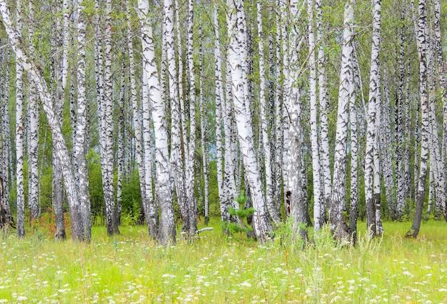 Letni krajobraz z widokiem na trawnik w pobliżu brzozowego gaju