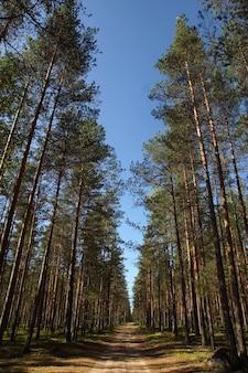 Letni krajobraz z wysokimi prostymi sosnami w lesie