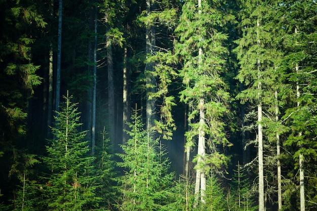 Letni las iglasty zielony