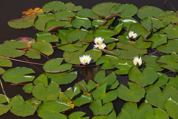 Letni staw z kwiatami lilii wodnych na wodzie w jeziorze
