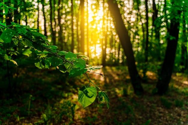 Letni zielony las z promieniami zachodzącego słońca naturalnego tła