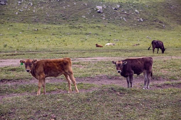 Letnia droga w górach z chodzącymi krowami na kaukazie