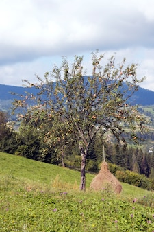 Letnia górska zielona łąka ze stosami siana i jabłoni (karpaty, ukraina).