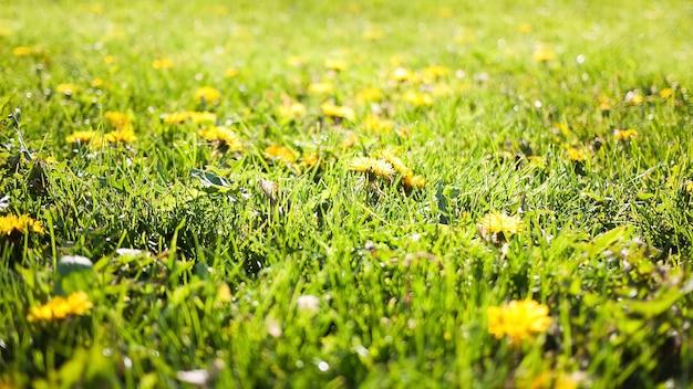 Letnia przyroda z rozmazaną zieloną trawą i mniszkami
