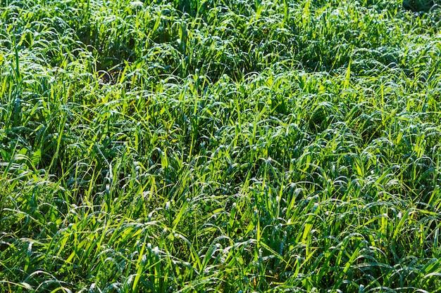 Letnia trawa z poranną rosą