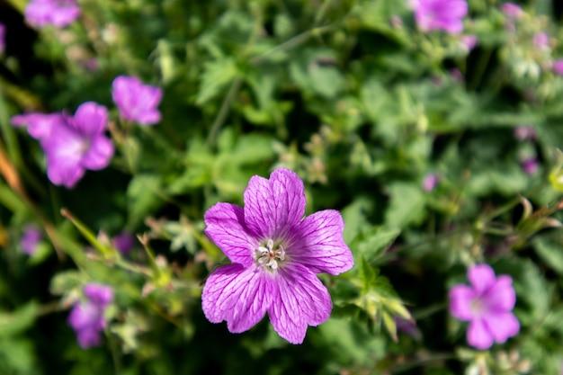 Letnie kwiaty ogrodowe, geranium fioletowe kwiaty zbliżenie.
