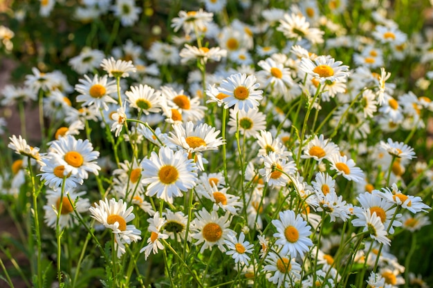 Letnie pole kwitnących stokrotek w słońcu