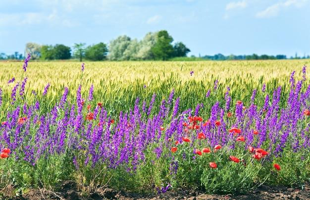 Letnie pole pszenicy z pięknymi czerwonymi makami i fioletowymi kwiatami.