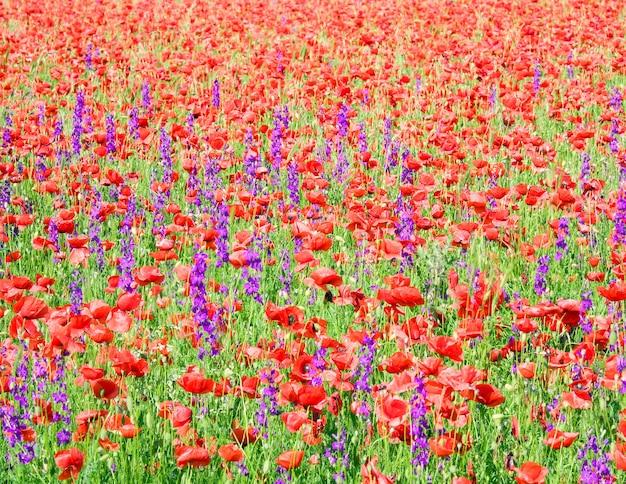 Letnie pole z pięknymi czerwonymi kwiatami maku i fioletowymi (tło natury).