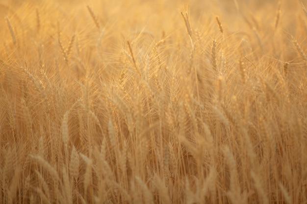 Letnie pole z żółtymi kłosami dojrzałej pszenicy o zachodzie słońca