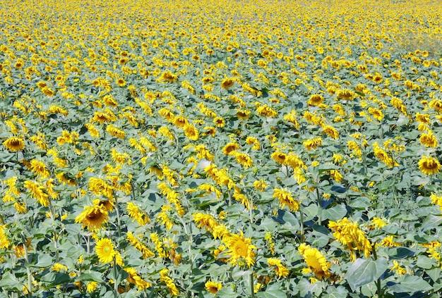 Letnie pole żółtych słoneczników