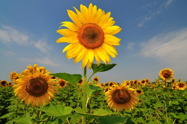 Letnie żółte słoneczniki z zielonymi liśćmi w polu na tle błękitnego nieba w pogodny dzień. rolnicze naturalne tło, tekstura i tapeta