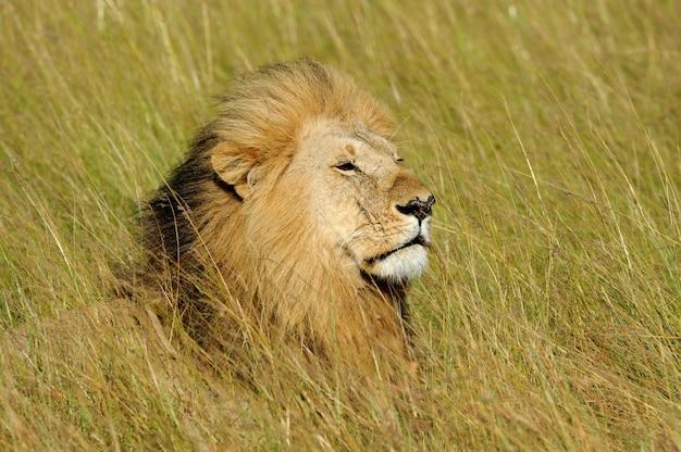 Lew afrykański w parku narodowym republiki południowej afryki