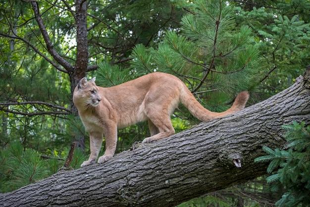 Lew górski schodząc po pochylonym drzewie, patrząc wstecz przez ramię