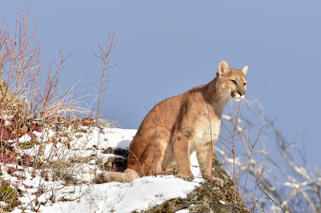 Lew górski siedzi na ośnieżonej półce w zimie