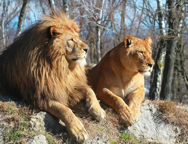 Lew i lwica w safari zoo