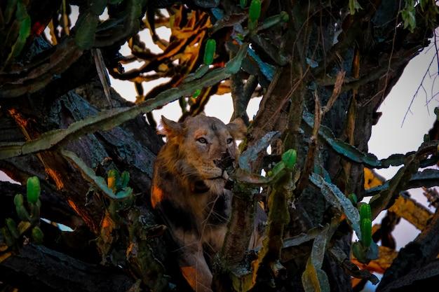 Lew leżący pośrodku drzew w pobliżu kaktusów