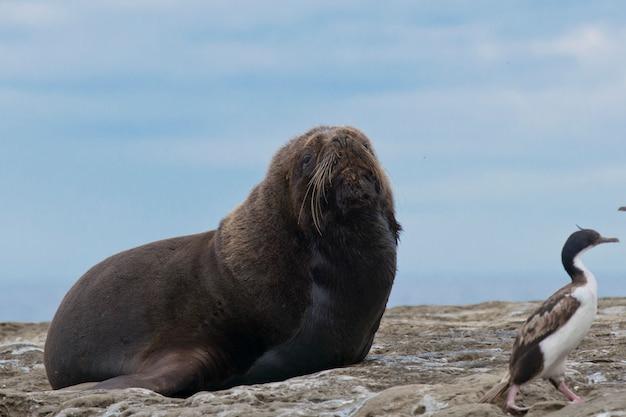 Lew morski ameryki południowej