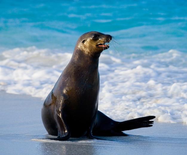 Lew morski leżący na piasku