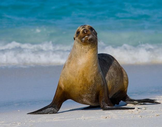Lew morski na piasku nad brzegiem morza