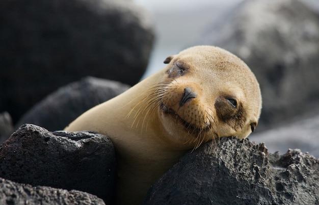 Lew morski na skałach